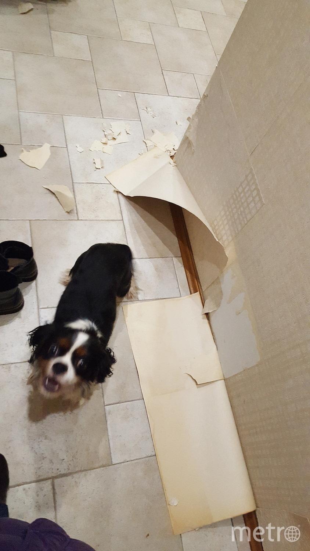 Благодаря нашему любимцу Барри нам все же пришлось сделать ремонт коридора который мы откладывали на протяжении года. Отдать должное ему, что он больше так не проказил. Фото Светлана Шиловская