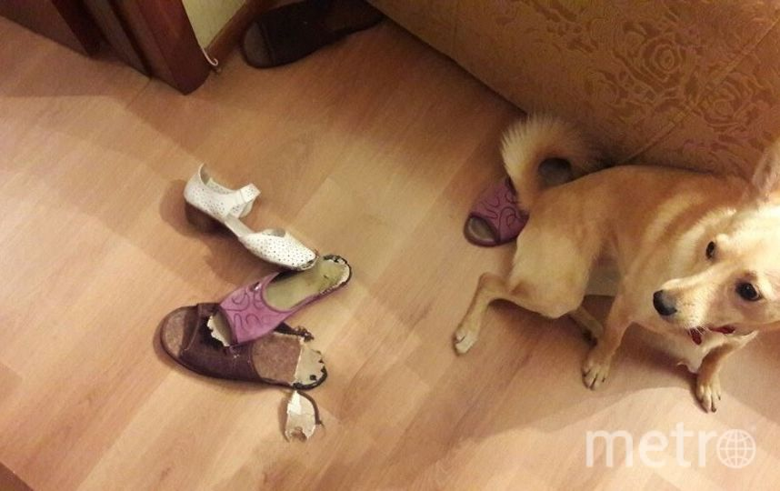 Это наша Веста, большая любительница обуви) Пока на ее счету два погрызанных тапка и одна туфля! Надеемся, что Веста не научится открывать обувницу... Фото Оксана Зайцева