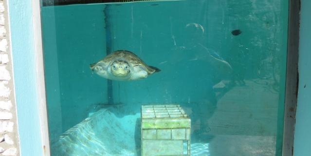 Черепаху с ампутированными конечностями приютил Океанариум