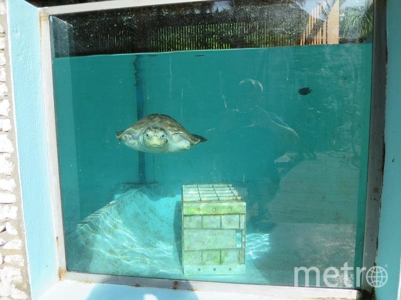 Черепаху с ампутированными конечностями приютил Океанариум. Фото фото предоставлено петербургским океанариумом
