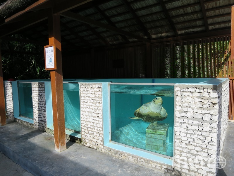 Черепаху с ампутированными конечностями приютил Океанариум.