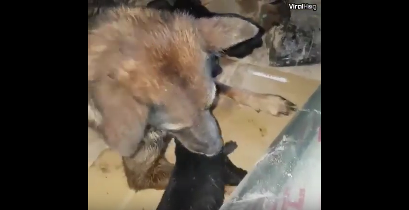Собака спасла своих щенят из затопленного логова: Трогательное видео. Фото Скриншот Youtube