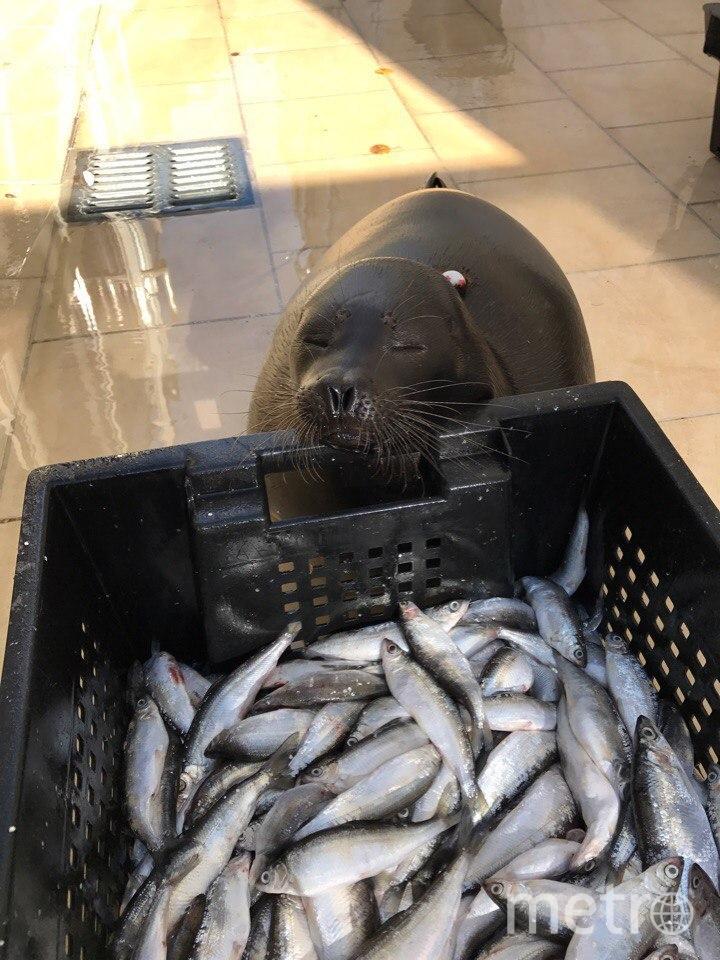 Нерпенок Крошик охотно осваивает новую профессию. Фото Спасение тюленей 699-23-99, vk.com