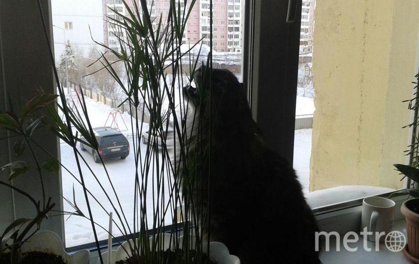 На фото наш мальчишка-хулиган Маркиз! Он очень любит сидеть на подоконнике, смотреть на птичек и периодически жевать пальму. Мы не против, лишь бы ему нравилось! Сабирова Надия.
