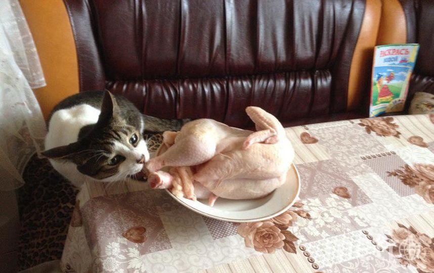 """В семье воспитывается кошка Лиза и кот Кузя.Про Лизу нельзя сказать ничего плохого,она очень интеллигентная девочка!А вот Кузя-это сгусток хулиганства!Особенно отличается похождениями на кухне,без присмотра нельзя оставить абсолютно ничего!Даже утренние бутерброды к кофе будут украдены!А тем более курочка!Даже огурец или кусок черного хлеба:""""Что не съем,то надкушу!""""На кухне за ним глаз да глаз! Надежда Короткова."""