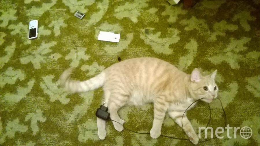 Это наш любознательный кот-подросток Персик из Петербурга. Он решил узнать, как устроен мобильный телефон, и для этого выдернул его из розетки во время зарядки. Фото Мария Лубченкова.
