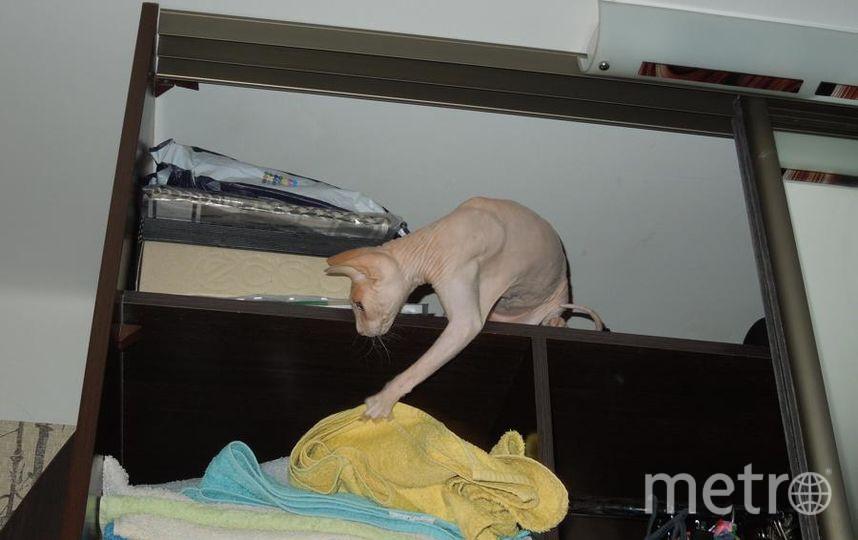 """Наша кошка Глаша. По происхождению """"Сфинкс"""", по натуре хулиганка. Глаша не может пройти мимо открытого шкафа, обязательно заберется и наведет свой порядок. Фото Анна"""