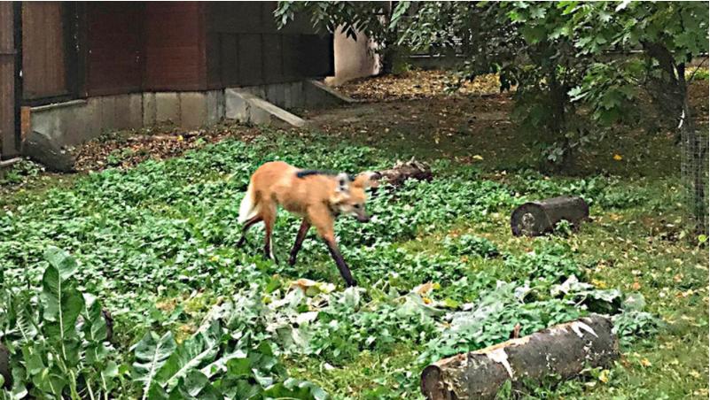 ВМосковский зоопарк привезли редкую гривистую волчицу