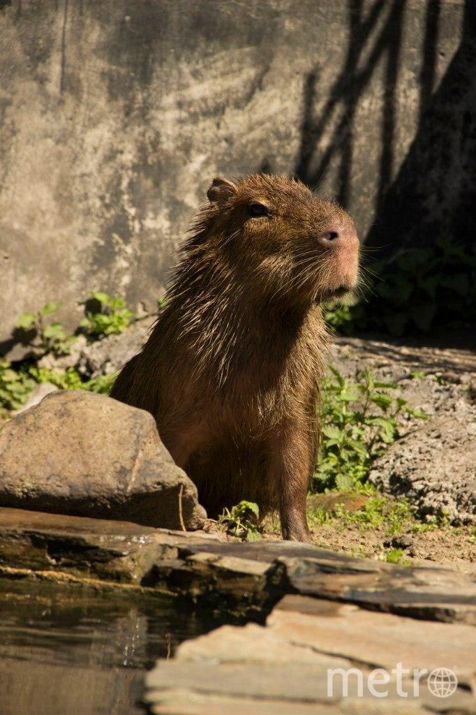 Капибары в пермском зоопарке. Фото Фото пермского зоопарка, vk.com/club139661725