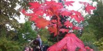 В Ботаническом саду наступил парад клёнов