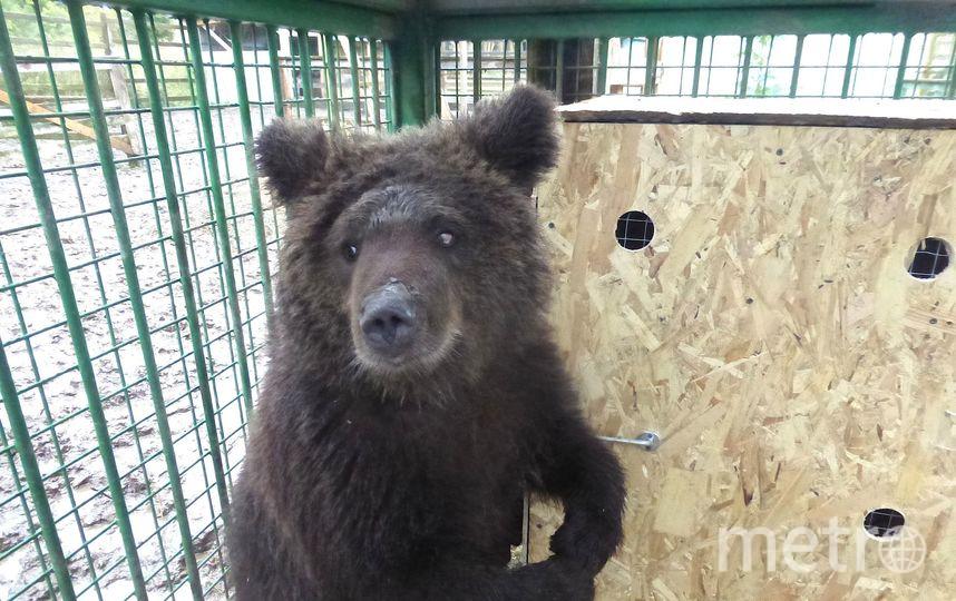 У медведицы Даши началась новая жизнь. Фото предоставлено центром «Велес».