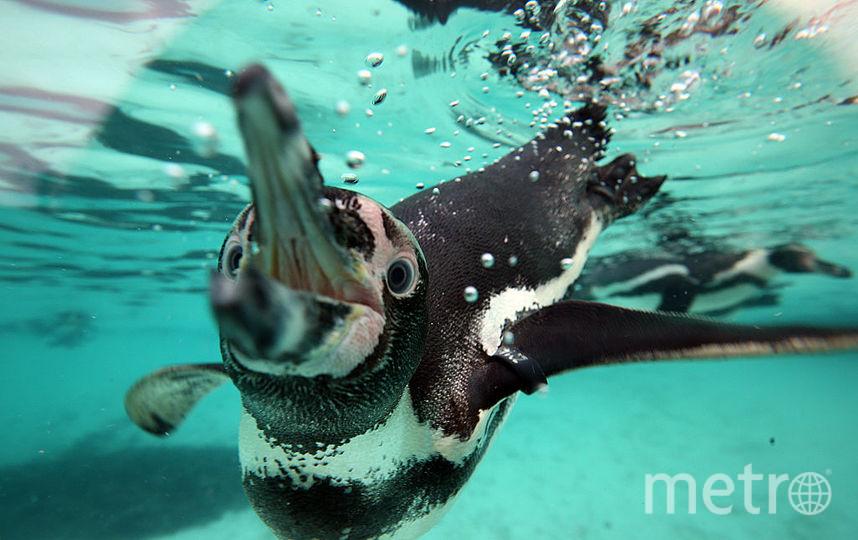 В Антарктиде 36 тысяч новорождённых пингвинов погибли от голода. Фото Getty