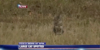 Уверенная в себе кошка влезла в репортаж Fox о дикой пуме – видео