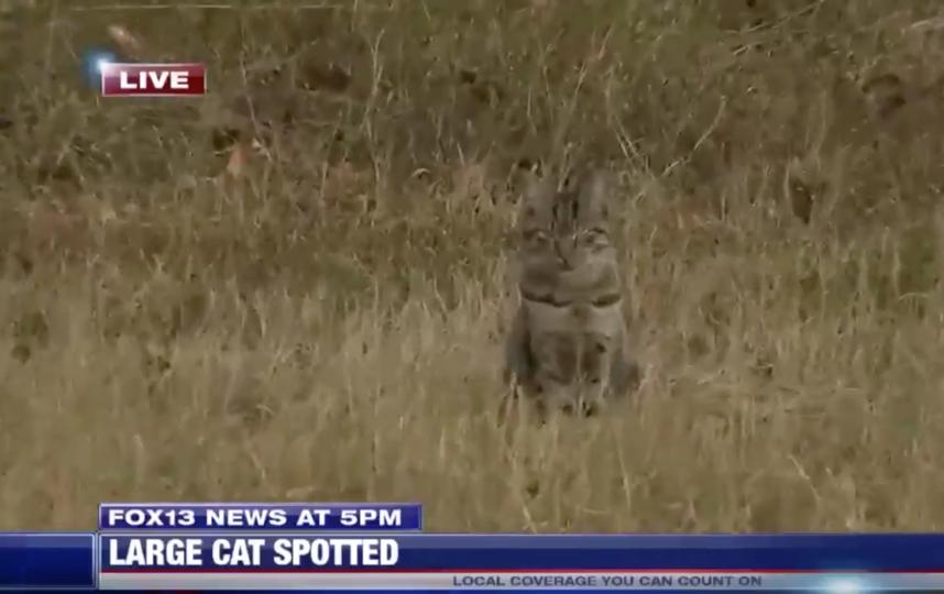 Кошку приняли за пуму. Фото скриншот Fox 13