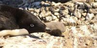 Эксперт: Пингвины больше привязаны к месту, чем к друг другу