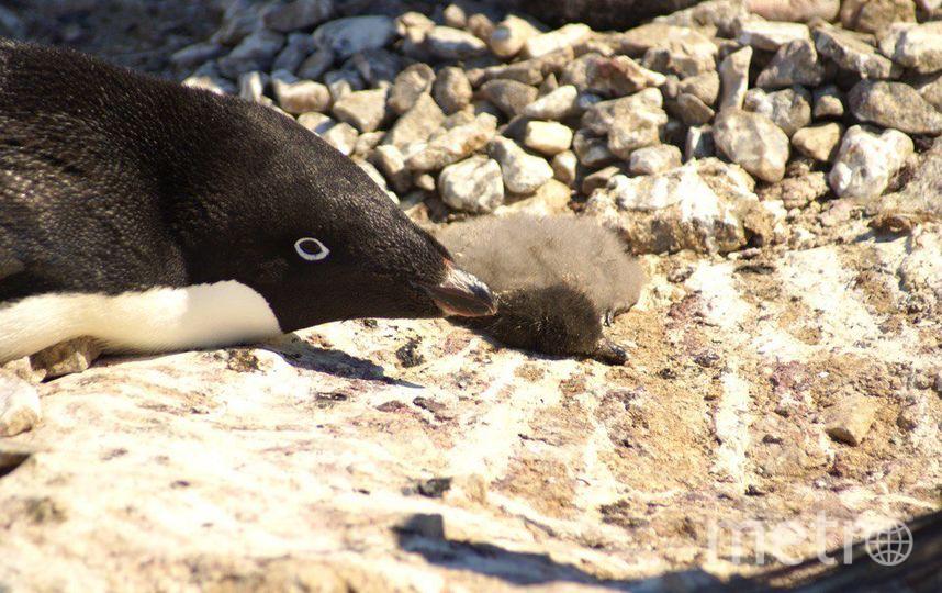 Пингвины. Фото Ян Ропер-Кудер.
