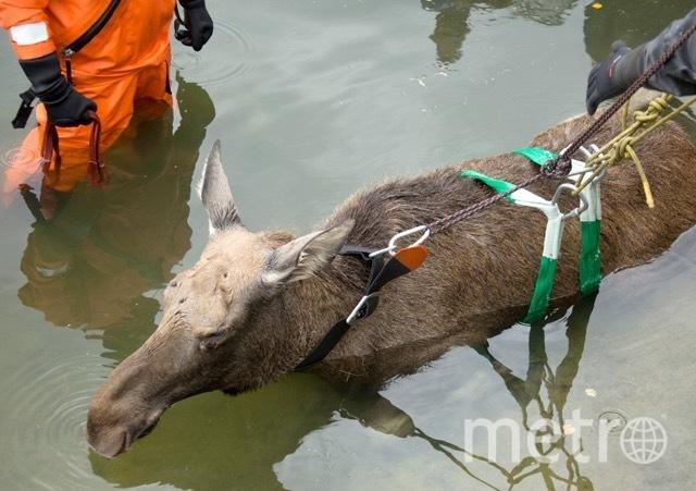 В сентября сотрудникам МЧС пришлось вытаскивать лося из Графского пруда в районе «Выхино» лося, которого потом отправили в Лосиный остров. Фото Пресс-служба Департамента по делам гражданской обороны, чрезвычайным ситуациям и пожарной безопаснос