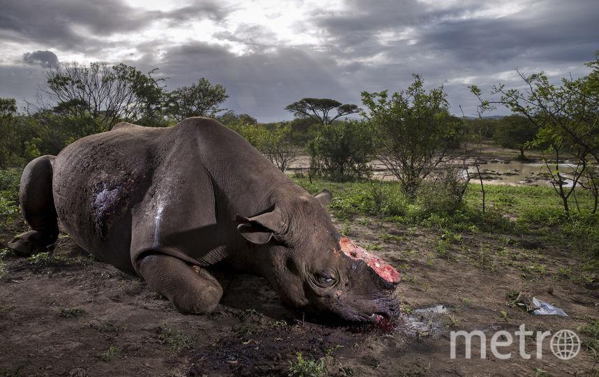Рог носорога. Фото Брент Стёртон, Южная Африка