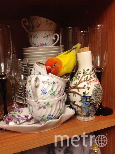 Наша птица попугай-неразлучник не просто хулиганка, а супер-мега-хулиганка. Все время в движении, любит отковыривать блестки от одежды и все виды чашек, если там что-то налито, то обязательно попробует! Фото Екатерина