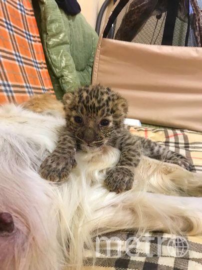 Новорожденные леопардята в зоопарке Владивостока . Фото http://zoopark-vl.ru/?module=news&action=article&id=94