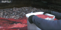 На Камчатке уничтожили икру стоимостью 70 млн рублей – видео