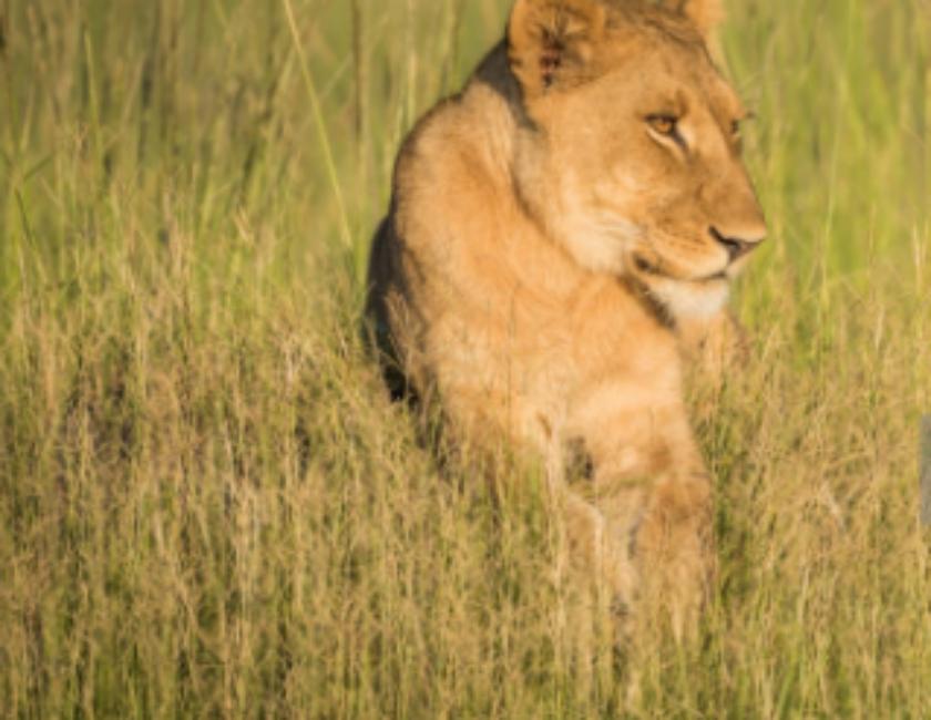 В Екатеринбургском зоопарке львица из Крыма родила трех львят-девочек. Фото Getty