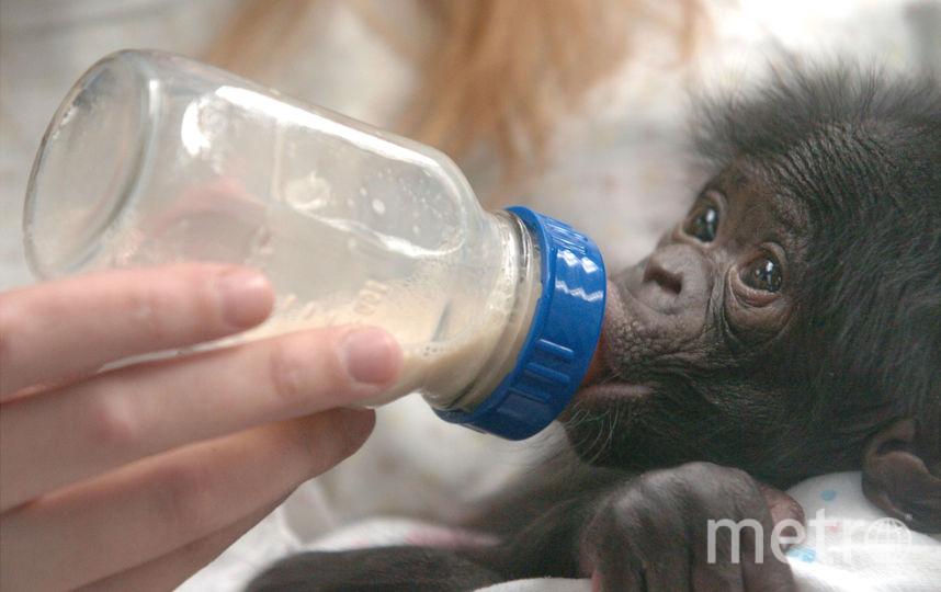 Двухнедельный детеныш бонобо. Фото Getty