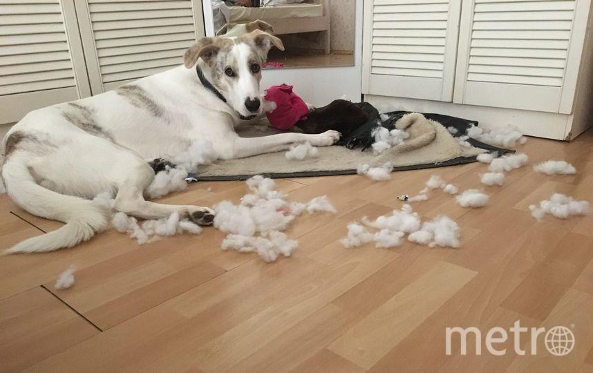"""На фото самый шкодный и безобиднй пес - Плуто! Он может справиться с любым предметом, будь то косточка, игрушка, плинтус за пару минут. После содеянного он включает режим """"самой несчатной собаки"""" и ему все прощается. Фото Дарья"""