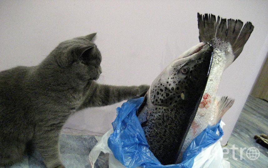 Меня зовут Оксана, а на фото мой питомец - Бегемот (Мотя). Не успеваю разложить покупки по местам - мой кот никогда не упустит шанс урвать себе кусочек чего-нибудь вкусненького. Фото Филатова О. А.