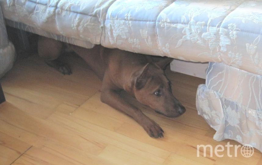 Когда нашу собаку Тори (тайский риджбек) привезли в дом, она сразу же нырнула под диван. Сейчас Тори уже выросла и под диван залазит с большим трудом, но по-прежнему там она чувствует себя в полной безопасности. Фото Милькина Людмила