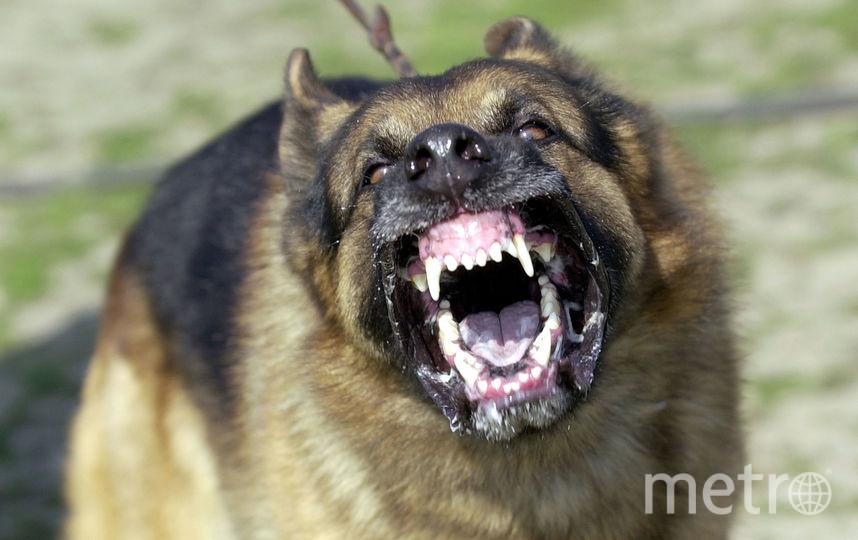 Трёхлетняя девочка, которую в Подмосковье искусали собаки, находится в реанимации. Фото Getty