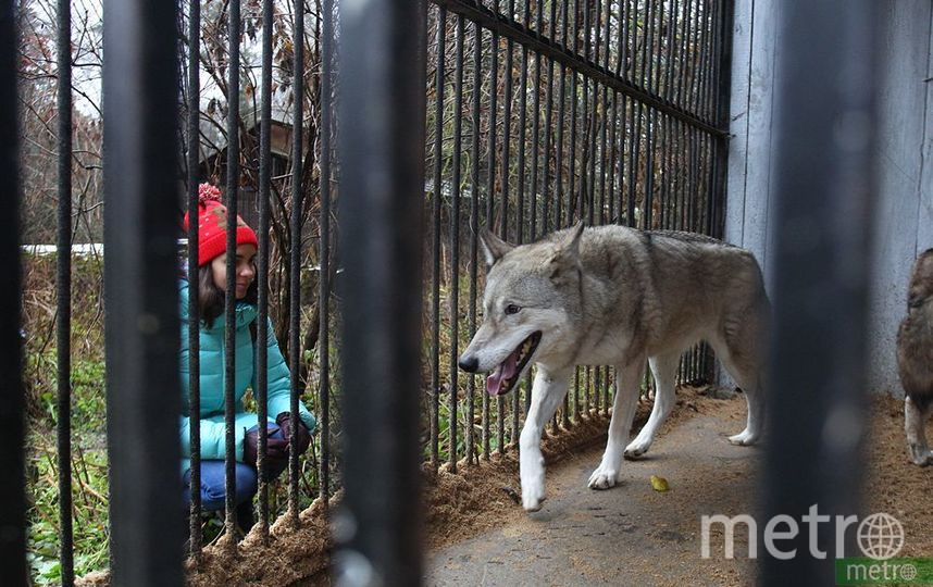 Эту молодую волчицу не обучали сниматься в кино, поэтому она заметно волнуется в присутствии людей. Фото Василий Кузьмичёнок