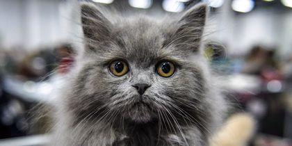 Безграничное умиление: в Москве прошла выставка кошек самых разных пород – фото