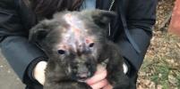 Щенок Лёшка выжил после нападения сибирских подростков-живодёров