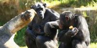 Самки шимпанзе, покинувшие родную зону обитания, заводят детей позже