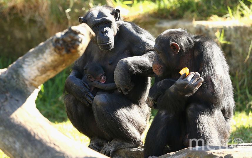Шимпанзе. Фото Getty