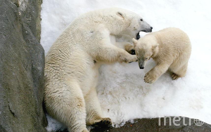 Медведи в московском зоопарке. Фото Getty