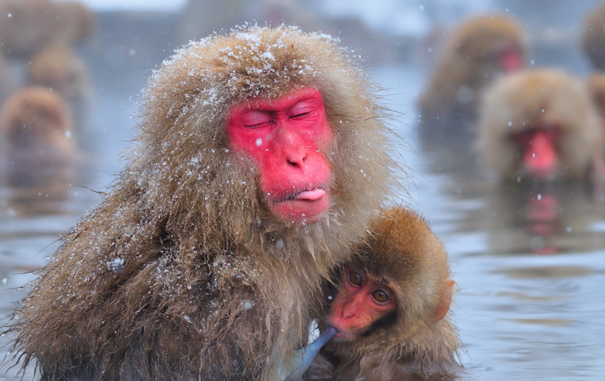 "Японская макака. Фото фестиваля ""Материнство в дикой природе"". Фото Фото - Ю.Б.Артюхин."