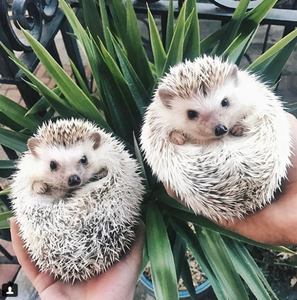 Ёжики Лионел и Лило. Фото Instagram