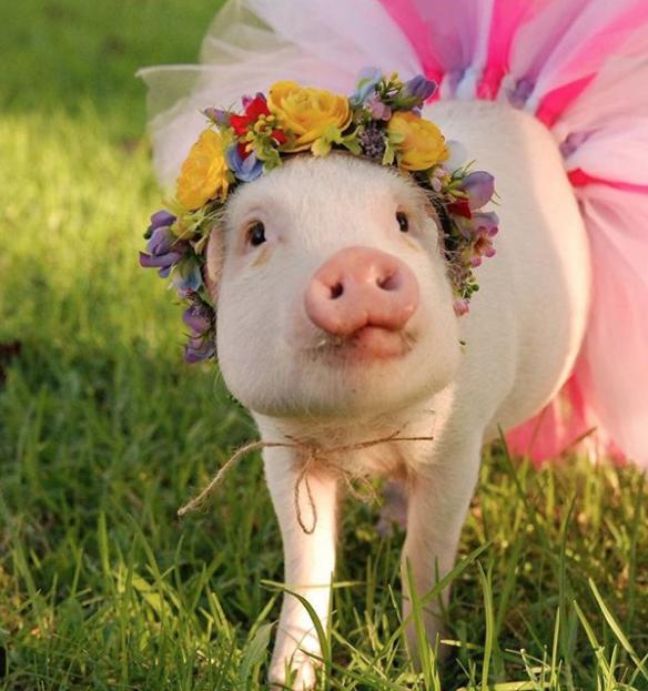 Свинка Гамлет. Фото Instagram