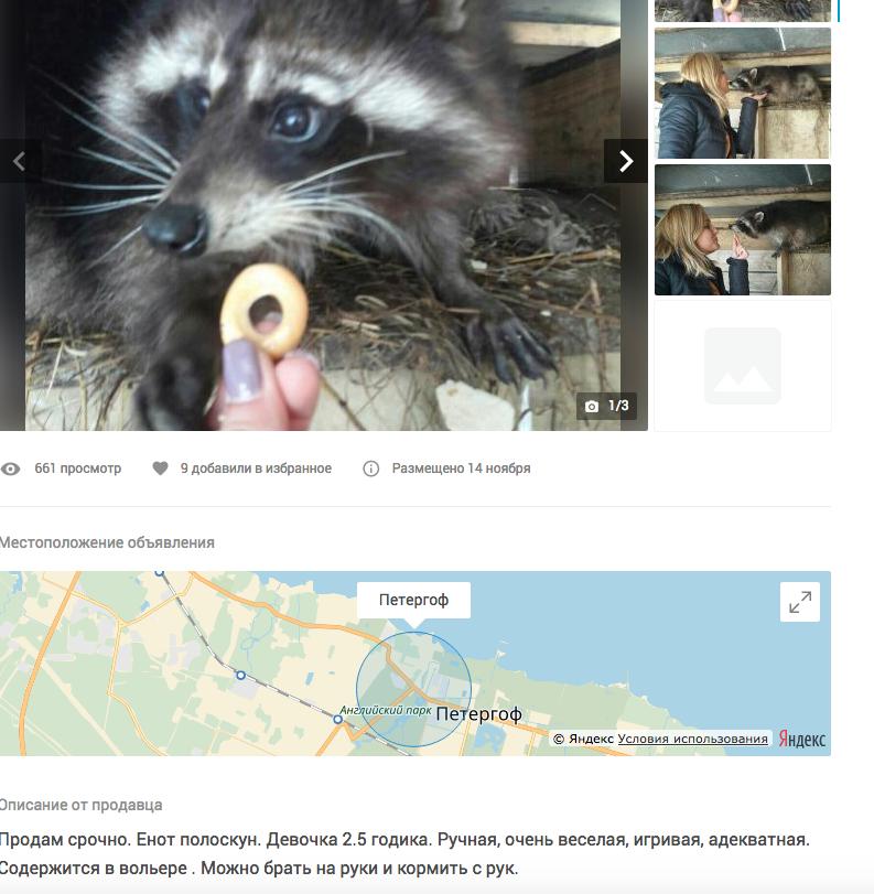 Енот-полоскун, 20 тысяч рублей. Фото Скриншот youla.io/sankt-peterburg