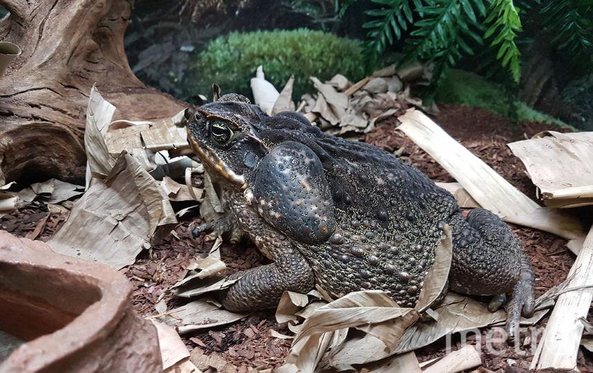 """Огромную жабу Ага в зоопарке ласково зовут Агуша. Она ядовитая, но, если не кусать её, беды не будет. Фото Василий Кузьмичёнок, """"Metro"""""""