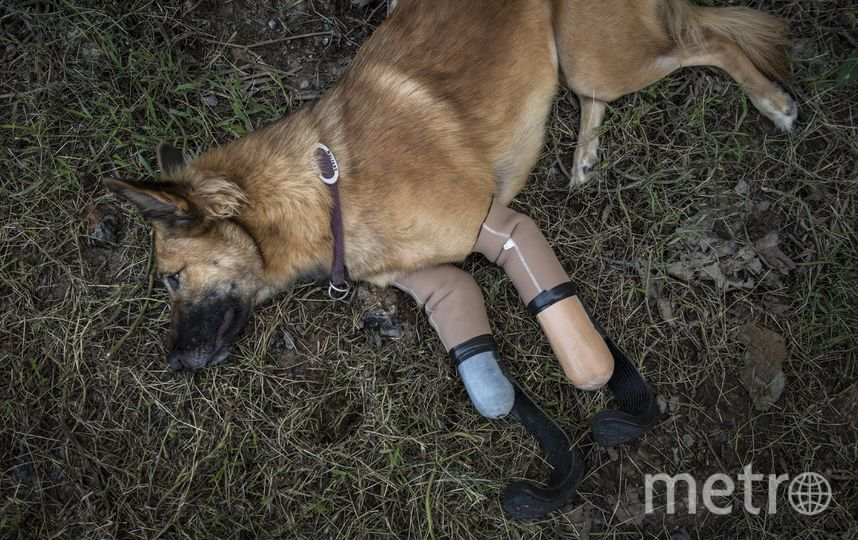 Пёс-инвалид встал на ноги при помощи протезов. Фото AFP
