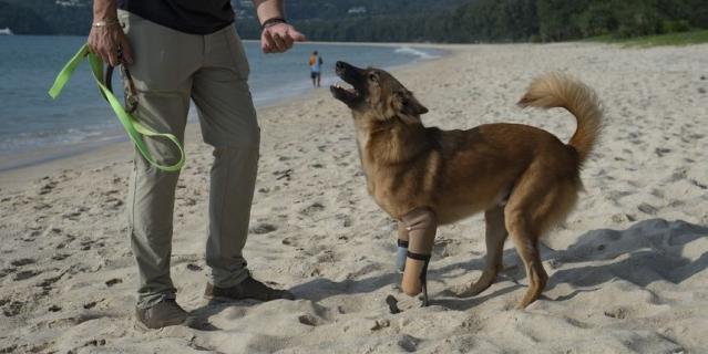 Пёс-инвалид встал на ноги при помощи протезов.