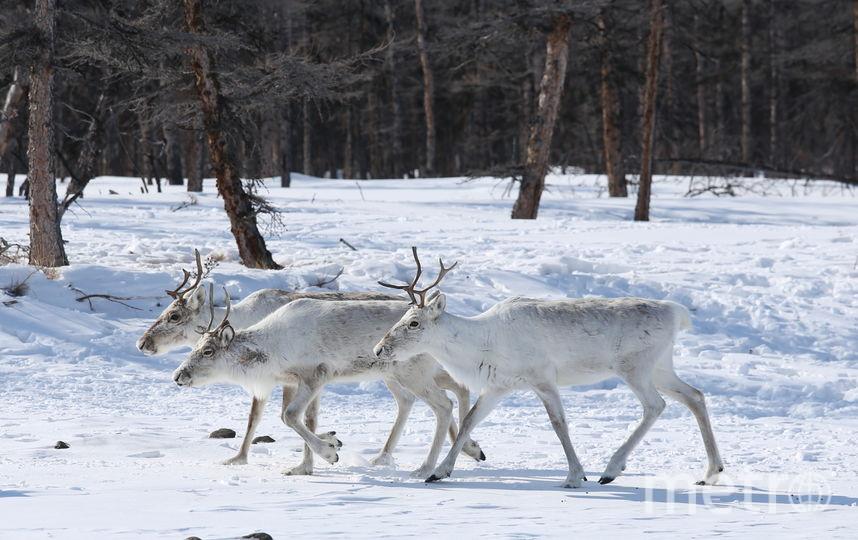 Новогоднее чудо для северного оленя. Фото Предоставлено организаторами
