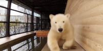 Видео с медведицей Снежинкой из Ленинградского зоопарка появилось в Сети
