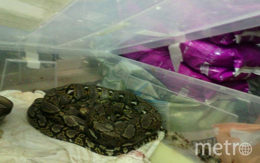Питона нашли на мусорке и принесли в зоомагазин в Красном селе.