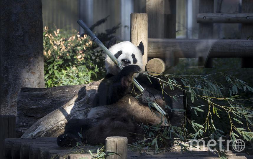 Впервые публике представили малышку-панду по имени Сян Сян (Xiang Xiang) в Токийском зоопарке Уэно. Фото Getty