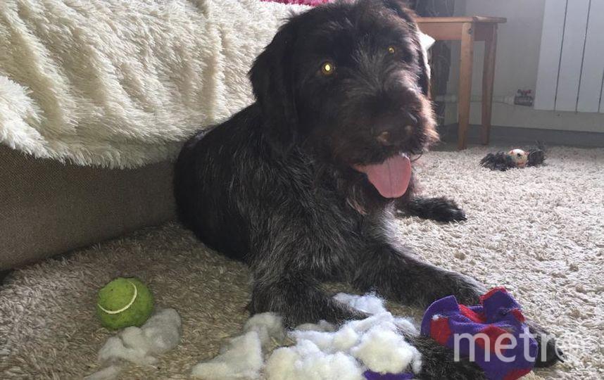 Наш домашний любимец Ингус породы дратхаар. Охотничья собака. В перерывах между охотой больше всего любит играть в мягкие игрушки, а так же в шишки и палочки. Когда ему хочется новую игрушку, он расправляется со старой!