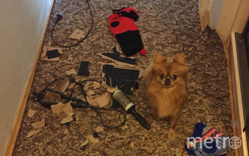 Это наш пёсик Рикки. Он не любит оставаться дома один! Когда мы уходим ,ему становится скучно и чтобы как-то скоротать время , он может всё разбросать, а самое любимое занятие- это порвать бумагу или картон на мелкие кусочки! Вот такой вот у нас маленький хулиган! Фото Николай Монахов